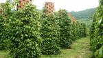 Phú Quốc có một loại gia vị được xem là đặc sản của đảo Phú Quốc, tỉnh Kiên Giang với vị thơm, cay nồng và đậm vị tiêu hơn các vùng khác. Hiện nay, ở Phú Quốc có khoảng 715 hộ trồng tiêu với tổng diện tích lên đến 300ha tạo ra sản lượng tiêu trên 800 tấn/năm. Đến thăm các khu vườn tiêu, bạn sẽ được nhìn thấy những hàng tiêu được trồng xanh mượt trải dài như bất tận và nếu đến vào mùa tiêu chín thì bạn sẽ được nhìn thấy những chùm tiêu chín xanh đỏ rất đẹp. Ngoài ra, đến đây bạn cũng sẽ được giới thiệu về cách trồng tiêu, chăm sóc tiêu, thời điểm và cách thu hoạch cũng như các cách chế biến sản phẩm từ tiêu.