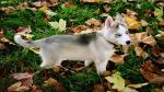 Hình nền máy tính chó Husky siêu đáng yêu - 23