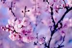 Sưu tầm 25 hình nền hoa đào tết 2019 đẹp, mới nhất cho máy tính
