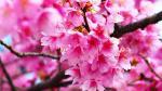 Top hình nền hoa đào tết 2019 đẹp, mới nhất cho máy tính - hình ảnh hoa đào tết 15
