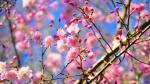 Top hình nền hoa đào tết 2019 đẹp, mới nhất cho máy tính - hình ảnh hoa đào tết 10