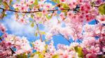 Top hình nền hoa đào tết 2019 đẹp, mới nhất cho máy tính - hình ảnh hoa đào tết 4