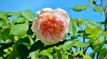 Hình nền hoa hồng chất lượng cao - Hình 69