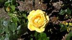 Hình nền hoa hồng chất lượng cao - Hình 52