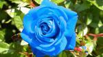 Hình nền hoa hồng chất lượng cao - Hình 33