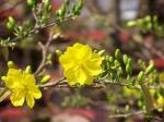 Hình ảnh, hình nền hoa mai đẹp nhất cho ngày tết - Hình 5