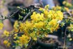 Hình ảnh, hình nền hoa mai đẹp nhất cho ngày tết - Hình 4