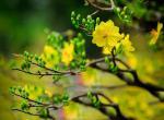Hình ảnh, hình nền hoa mai đẹp nhất cho ngày tết - Hình 2