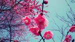 Hình nền hoa đào đẹp nhất mừng xuân canh tý 2020 - Hình 16