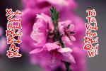 Hình nền câu đối chúc tết Tân Sửutrên nền hoa đào mùa xuân 2021đẹp - Hình 12