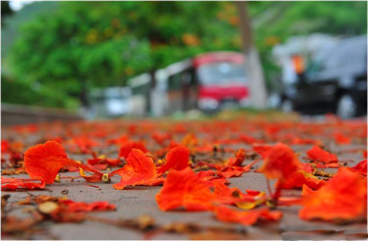 Image result for hoa phượng hình bìa